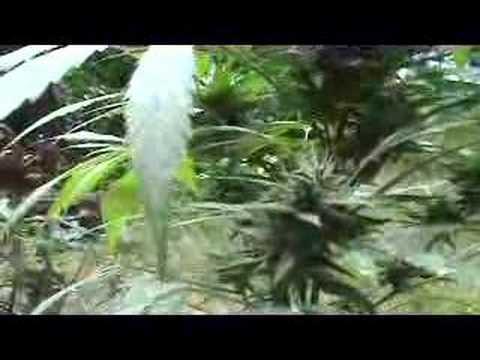 Wildwood Weed