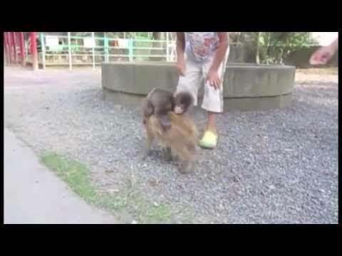 Baby Monkey Riding On A Dog Baby Monkey Riding Pig...
