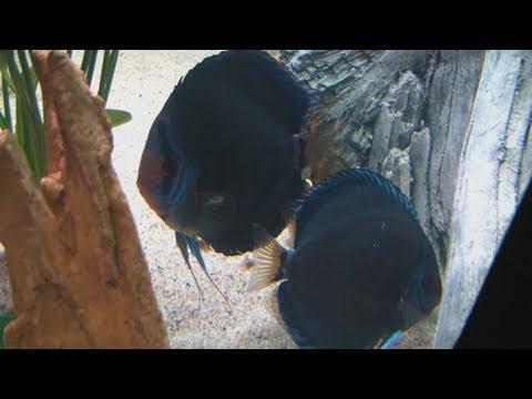 [HD] Stunning Kobalt Discus pair with fry / Diskus Jungfische @ Zierfische & Aquarium 2010 [32/53]