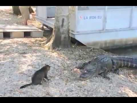 Fatal Attraction: Two Vicious GATORS almost Killed by pet CAT
