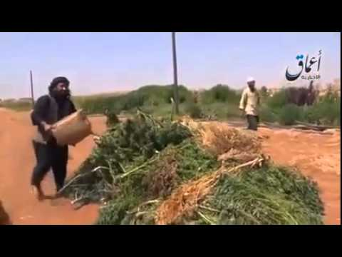 (Marijuana) up in flames - IS fighters shown burning cannabis field  8/26/14