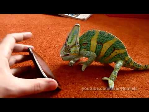 Chameleon frightened by iphone