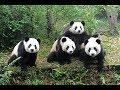Funiest panda