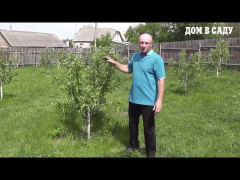 Купить саженцы яблони традиционной