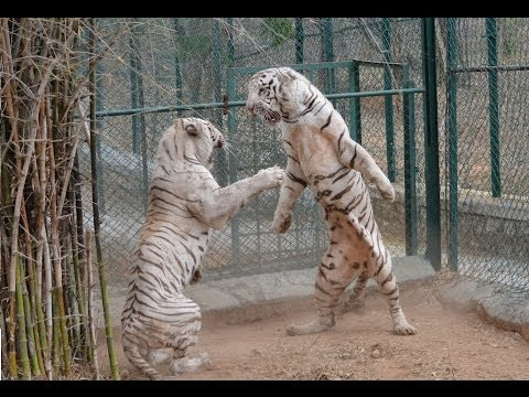 DO NOT Make White Tiger Angry - EVER !!