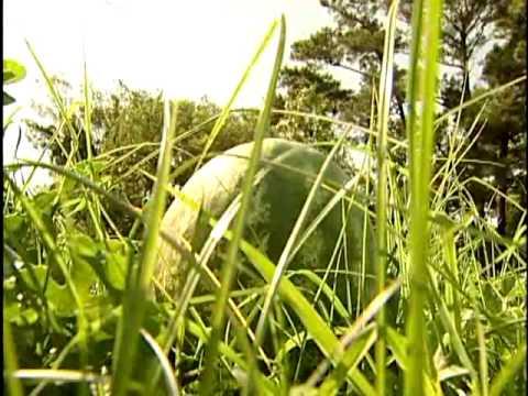 Bogue Sound Watermelons
