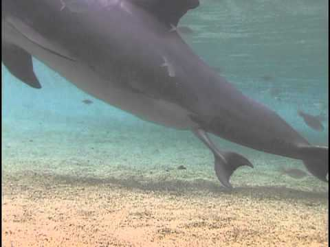 Amazingly Close Look At A Dolphin Giving Birth