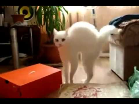 Cat walking on two legs 2