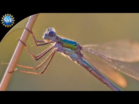 Science Nation - Dragonflies: The Flying Aces of the Insect World