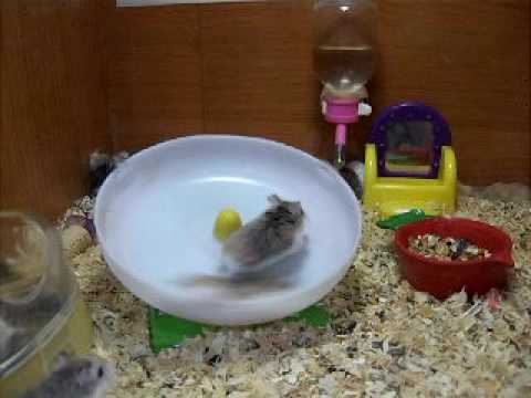 Crazy hamsters playing