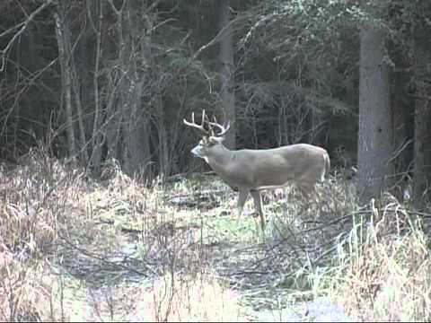 Mature Buck Feeds in the Woods - Deer & Deer Hunting