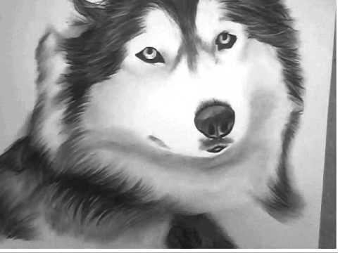 Siberian Husky Charcoal Drawing