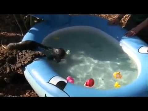 Baby Otters Swimming