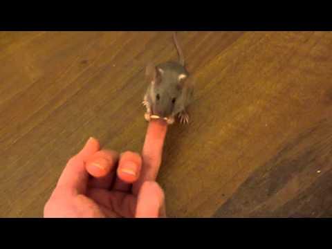 Wytresował mysz tak, że zakłada mu...