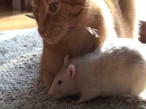 Rat loves cat!