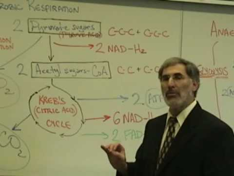 Professor Fink explains CELLULAR RESPIRATION (Part 6); Krebs Cycle; Electron Transport Chain