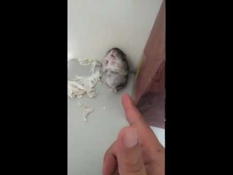 Hamster pretends to be dead