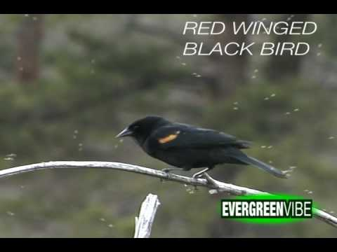red winged black bird eating insects