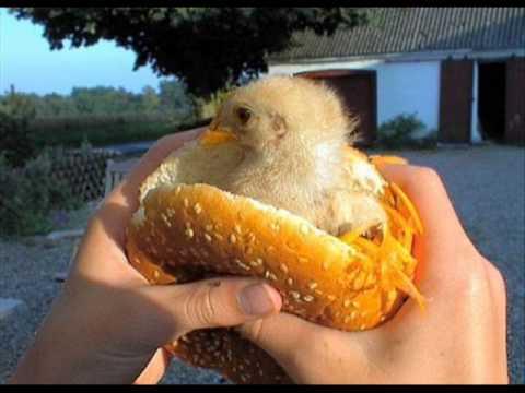 De pollos chistosos - Imagui