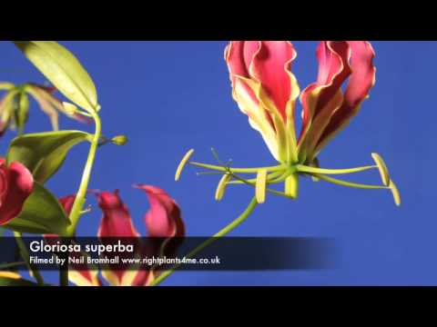 Gloriosa superba flower time lapse