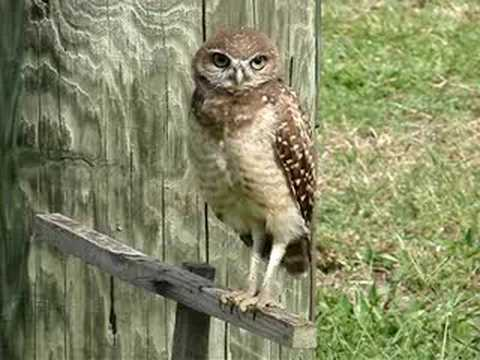BURROWING OWL HEAD TILT.   IT-S DIGGER - LIVE!