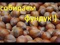 собираем фундук!!!))