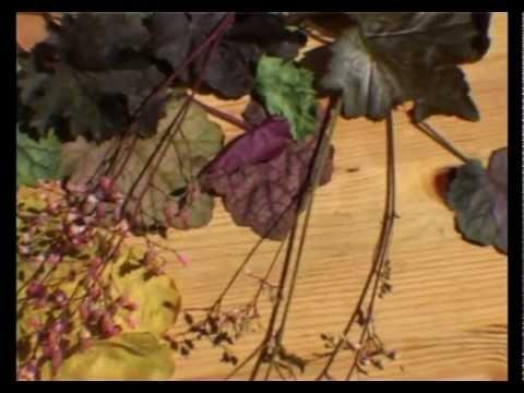 Гейхерелла саженцы продаем с доставкой из питомника