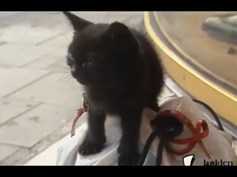 Barking Kitten Prank
