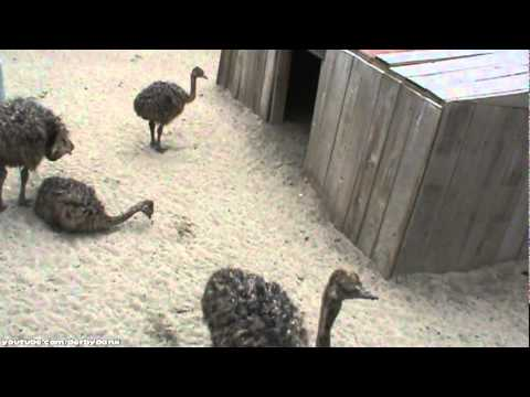 Cute Baby Ostriches Are Cute