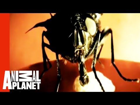 Monsters Inside Me: Botfly Invasion