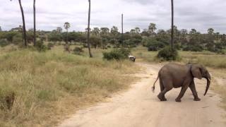 Elephant Runs to Catch Up