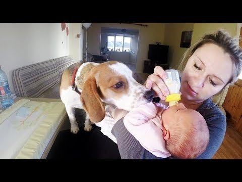 Babysitting Beagle never had to be taught how to love baby