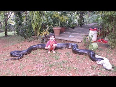 Capturing a Giant Anaconda After Eating Neighbour's Dog