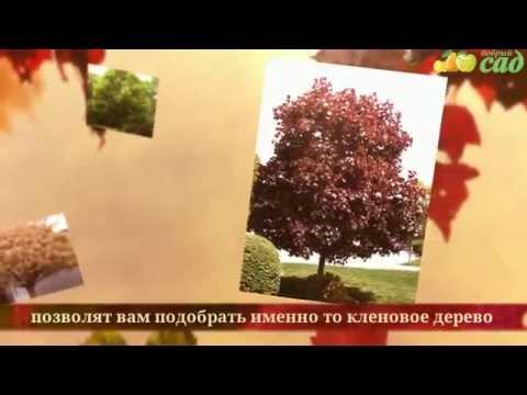 Купить саженцы клена в Москве