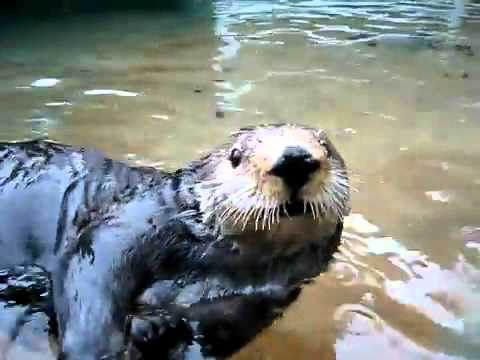 What otters sound like