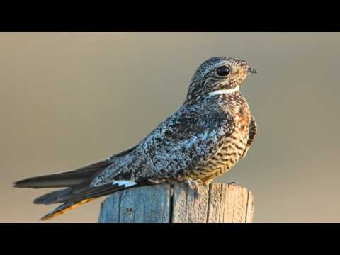 Voices: Common Nighthawk