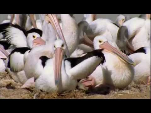 Pelicans : Outback Nomads - Documentary Full Film