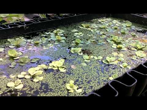 Bioponica Incubator creating plant fertilizer, duckweed and deep water growing of plants