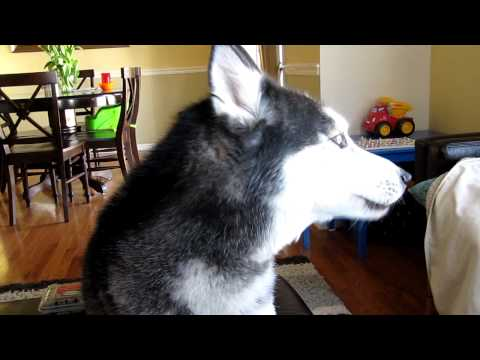 "Mishka says ""I'm a pretty girl"" - Husky dog talking"