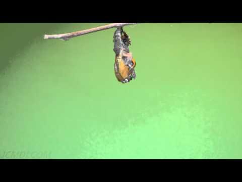 Hi-Res Gulf Fritillary Butterfly emerging timelapse (green screen) V09878