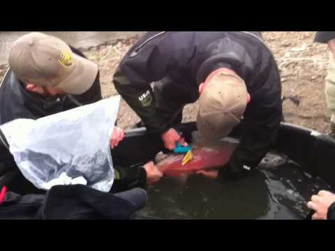 Trapped salmon rescued from Yolo Bypass