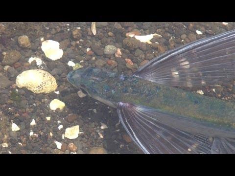 World's saddest flying fish trapped in a small tide pool at Miura, Kanagawa, Japan 2/2