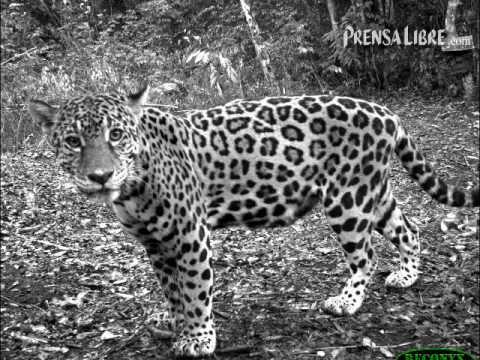 Fotografiando al jaguar del Petén