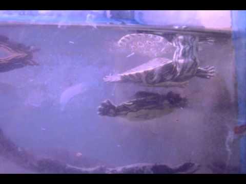 Biosfera Acuario, Oaxaca: mes de julio especial tortugas (pavoreal y casquito legales).
