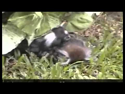 قرد يودع زوجته على طريقة «روميو وجوليت» بعد سقوطها من الشجرة