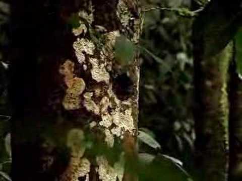 Quetzal in Guatemala