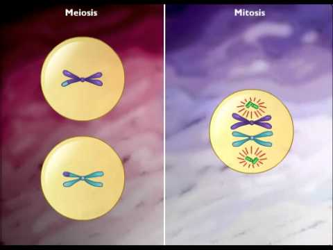 Difference between mitosis ans meiosis