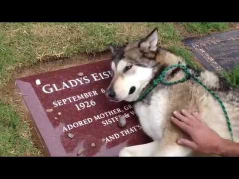 The dog crying in front of his owner's grave