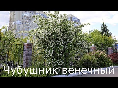 Жасмин купить саженцы в Москве