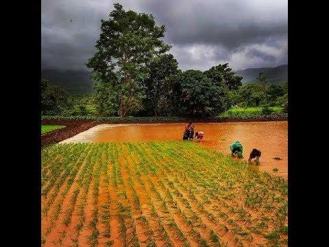 भोर तालुक्यात 'भात लावणी' महोत्सव